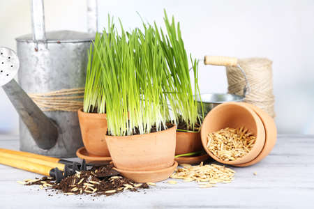 Green grass in flowerpots and gardening tools, on wooden table photo