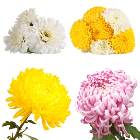 Collage of chrysanthemums flowers isolated on white photo