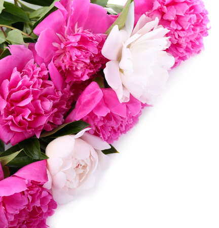 Beautiful pink and white peonies, isolated on white photo