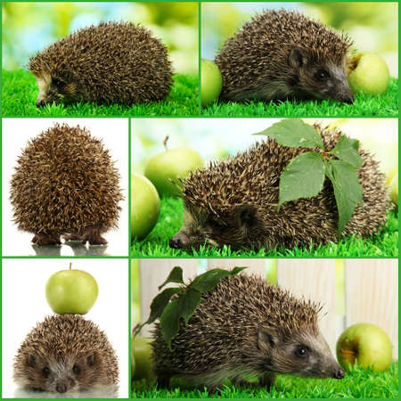 Collage of cute hedgehog photo