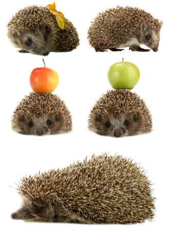 Collage of cute hedgehog isolated on white photo