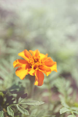 tagetes: Orange french marigolds (Tagetes patula), outdoors
