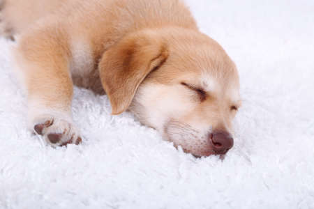 Little cute Golden Retriever puppy on white carpet photo