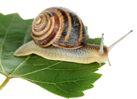 Snail on leaf isolated on white photo