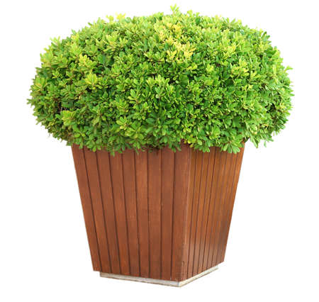 bush trimming: Garden pot with lush bushes isolated on white