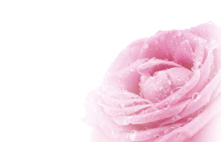 refinement: Beautiful pink rose isolated on white