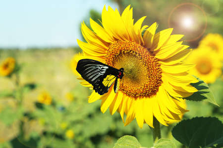 Beautiful sunflower with butterfly in field photo