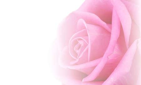 rosas rosadas: Hermosa rosa rosa aislado en blanco Foto de archivo