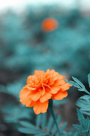 patula: Orange french marigolds (Tagetes patula), outdoors