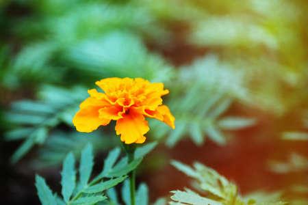 tagetes: Orange french marigolds (Tagetes patula), outdoors