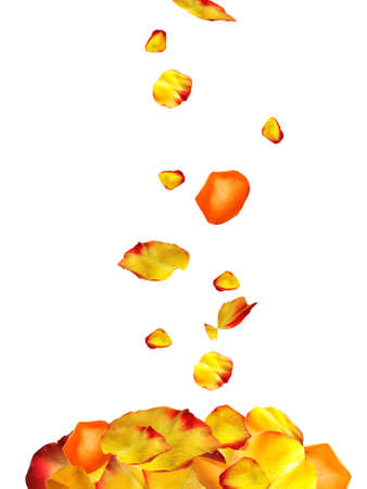 rosas amarillas: La caída de pétalos de rosa aislados en blanco