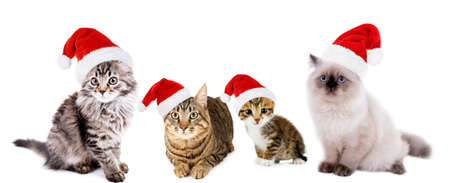 christmas pussy: Cats in Santa Claus hat isolated on white