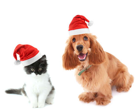 Beautiful cocker spaniel and cute kitten with Santa Hat isolated on white Stock Photo