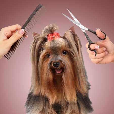 Yorkshire terrier grooming at the salon for dogs photo