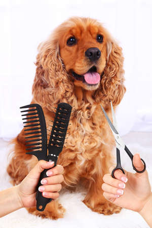 Cocker spaniel grooming at the salon for dogs photo
