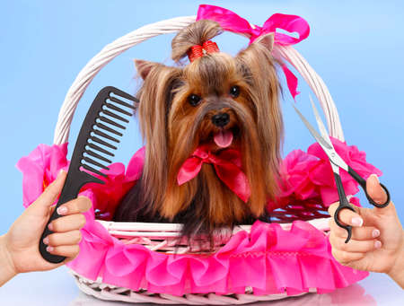 Yorkshire terrier grooming at the salon for dogs
