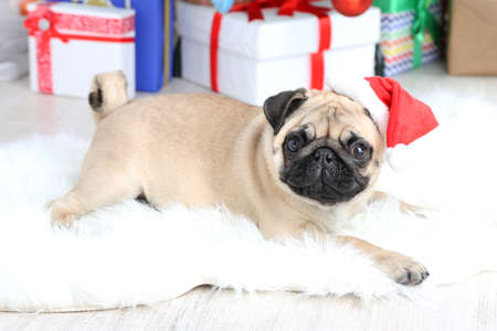 Funny, cute and playful pug dog on white carpet on light background photo