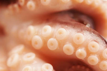 촉수: Close-up of Octopus tentacle with suckers (macro)