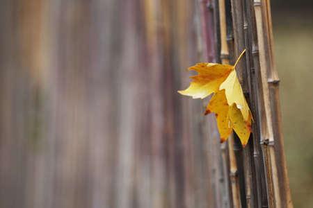 Beautiful autumn leaf on bamboo fence photo