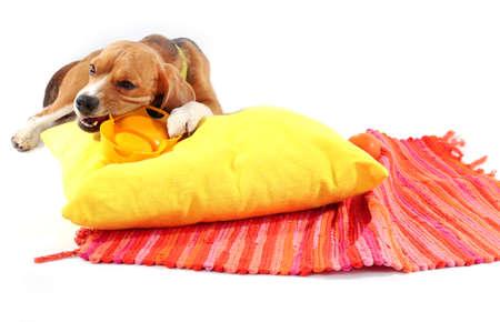 hunter playful: Beagle dog isolated on white