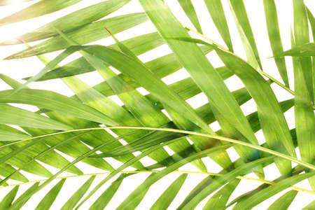 hamedoreya: Beautiful palm leaves as background