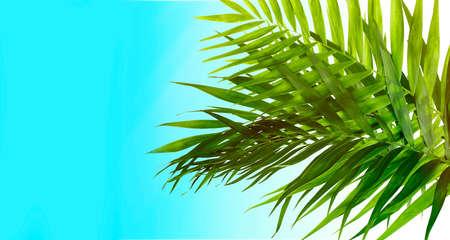 hamedoreya: Beautiful palm leaves on light blue background Stock Photo