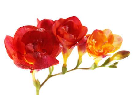 freesia: Beautiful freesia flowers, isolated on white