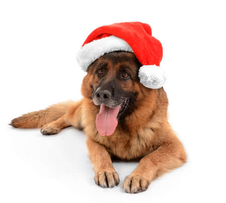 scamper: Funny cute dog in Christmas hat isolated on white