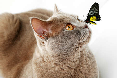 Colorful butterfly sitting on cats nose on light background photo