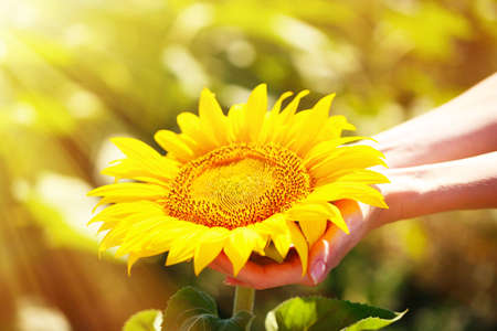 Beautiful sunflower in hands on sunny nature background Stok Fotoğraf - 37240753