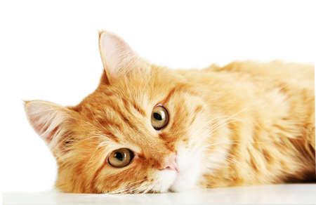 Il gatto rosso sdraiato, isolato su sfondo bianco Archivio Fotografico - 37224973