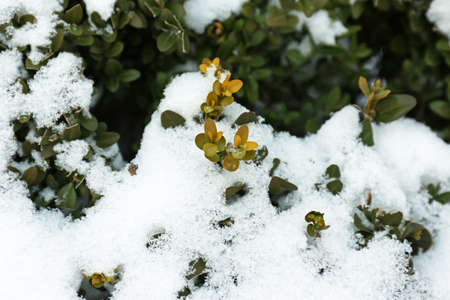covered in snow: Bush covered snow, macro view Stock Photo