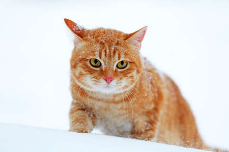 Red cat on snow background photo