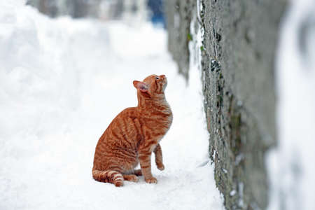 Red cat near fence on white snow background photo