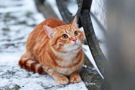 Red cat on fence with snow background photo