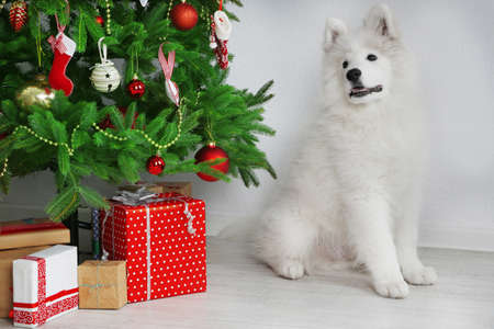 pet new years new year pup: Samoyed dog in room near Christmas tree on white wall background Stock Photo
