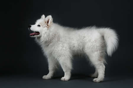 lovable: Lovable Samoyed dog on dark background Stock Photo