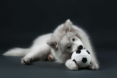 lovable: Lovable Samoyed dog playing with ball on dark background