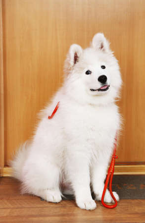 lovable: Lovable Samoyed dog with leash before walk on mat and wooden door on background Stock Photo