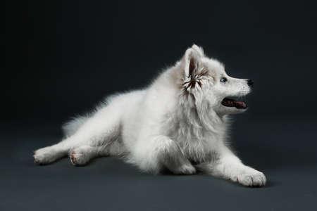 lovable: Lovable Samoyed dog lying on dark background