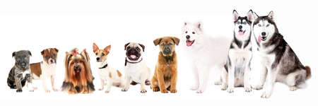 Dogs isolated on white Foto de archivo