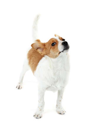 rawhide: Cute dog with  with rawhide bone on red ribbon isolated on white background
