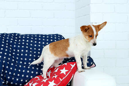 grooming: Cute dog on sofa, on white wall background