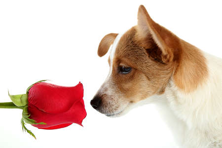 paw smart: Dog with red rose, isolated on white Stock Photo