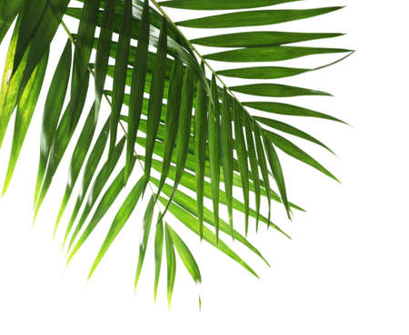 Leaf of palm isolated on white photo