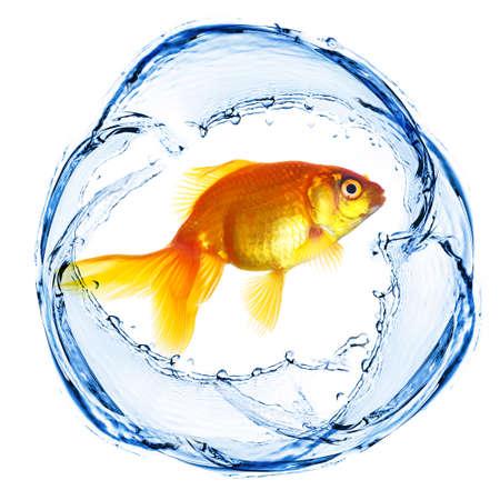 goldenfish: Goldfish in water splashing isolated on white