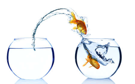 peces de colores: Goldfishes en acuario aislado en blanco Foto de archivo