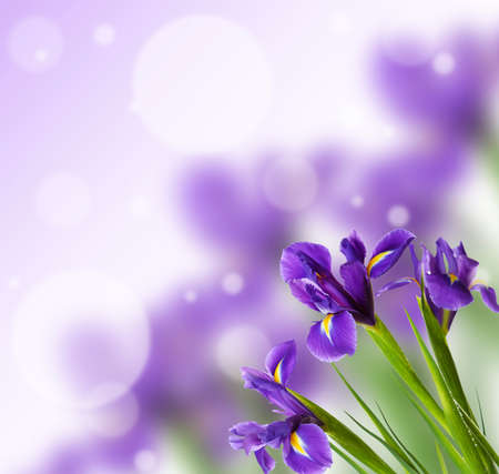 Beautiful Iris flowers on bright background