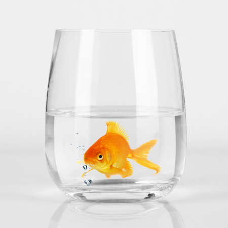 Goldfish in glass, close up photo