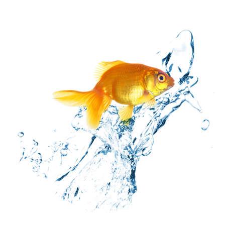 goldenfish: Goldfish in water splashes, isolated on white